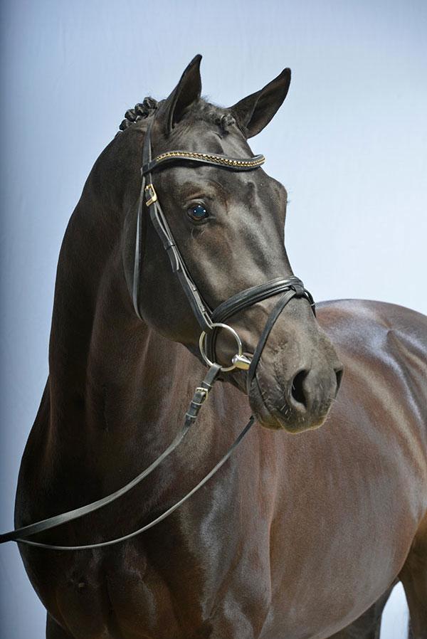Hengste blue hors first choice dressurpferde kathmann for Seydlitz hannover